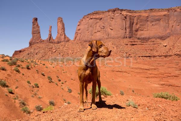 Köpek ayakta kırmızı çöl Stok fotoğraf © Quasarphoto