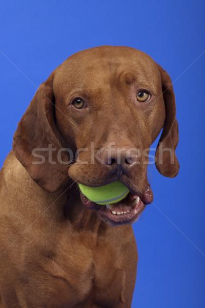 Sevimli köpek tenis topu ağız top Stok fotoğraf © Quasarphoto