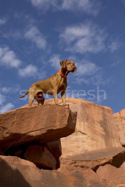 Perro superior acantilado puro raza dorado Foto stock © Quasarphoto