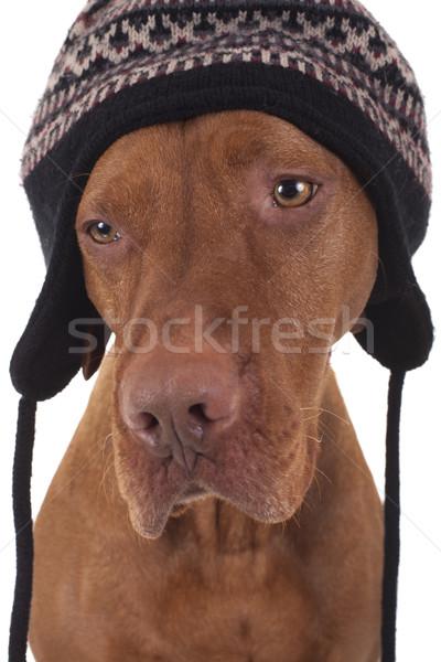 Köpek kış şapka Stok fotoğraf © Quasarphoto