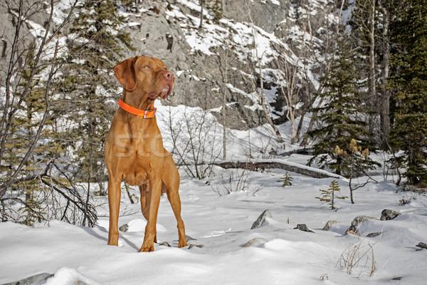 собака зима декораций Сток-фото © Quasarphoto