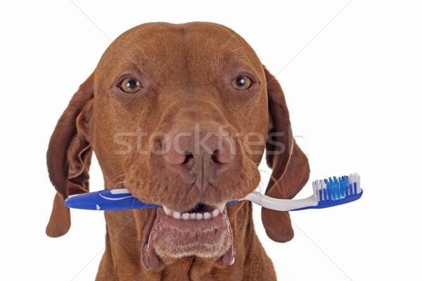 Stock fotó: Kutya · orális · higiénia · arany · merő · fajta