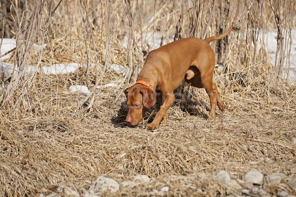 Köpek koku altın renk avcılık zemin Stok fotoğraf © Quasarphoto