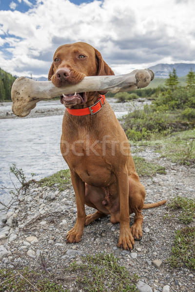 dog holding oversized bone Stock photo © Quasarphoto