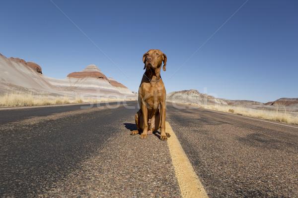 только дороги собака сидят пустыне шоссе Сток-фото © Quasarphoto
