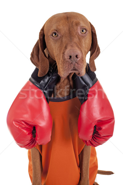 Kavga köpek çift eldiven üzücü yalıtılmış Stok fotoğraf © Quasarphoto