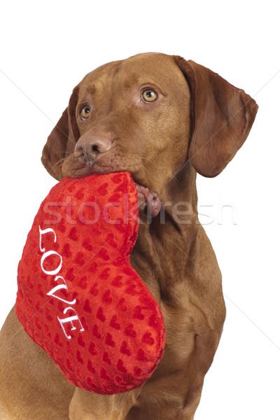 Köpek kırmızı kalp sevgililer günü Stok fotoğraf © Quasarphoto