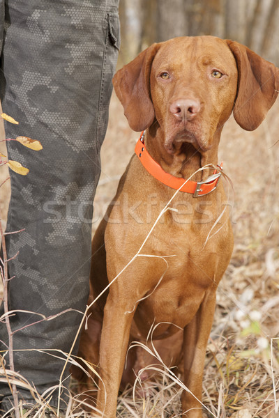 pointer sitting  at hunters heel Stock photo © Quasarphoto