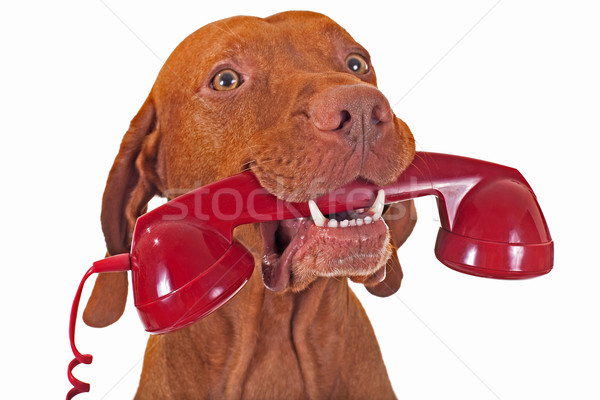 dog holding red telephone receiver Stock photo © Quasarphoto