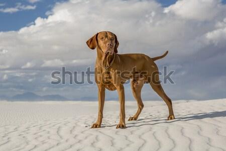Köpek çöl altın ayakta mavi gökyüzü Stok fotoğraf © Quasarphoto