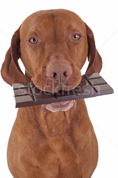 Köpek yeme çikolata altın Stok fotoğraf © Quasarphoto