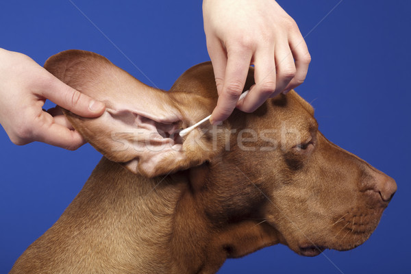 pure breed dog's ear cleaned Stock photo © Quasarphoto