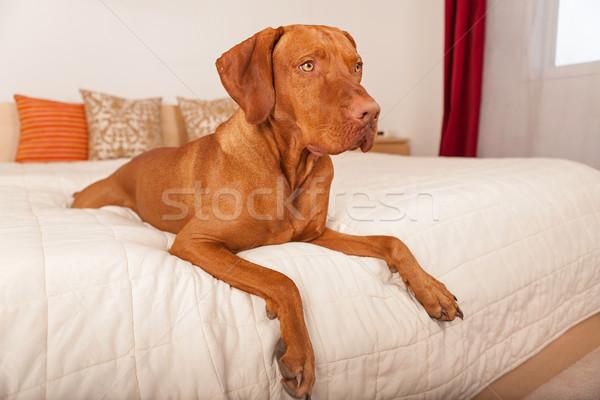 犬 人間 ベッド ストックフォト © Quasarphoto