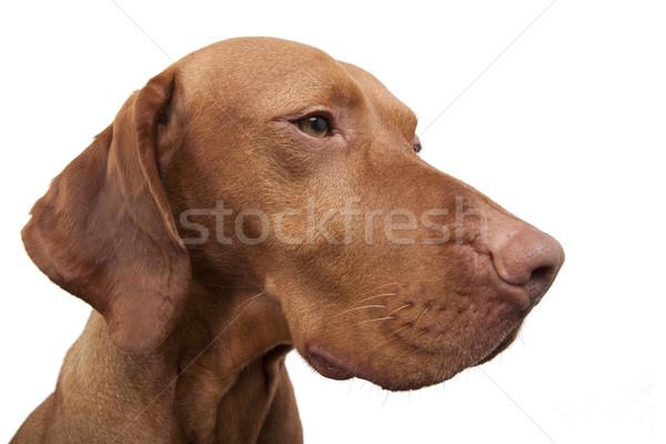 Kutya széles látószögű portré fehér Stock fotó © Quasarphoto