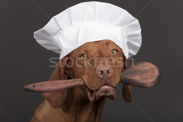 Merő fajta kutya szakács szakács sapka tart Stock fotó © Quasarphoto