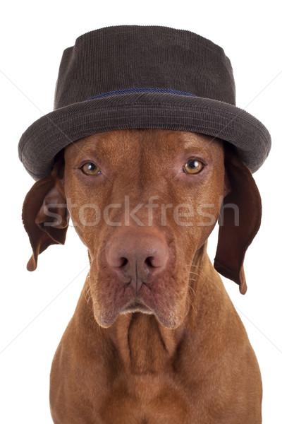 Vadászkutya stúdió portré kalap magyar visel Stock fotó © Quasarphoto