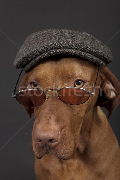 собака Hat очки Сток-фото © Quasarphoto