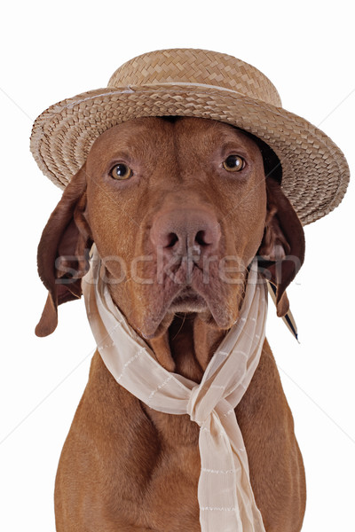 pointer dog with straw hat and scarf Stock photo © Quasarphoto