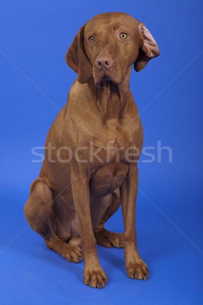 Köpek oturma stüdyo mavi Stok fotoğraf © Quasarphoto