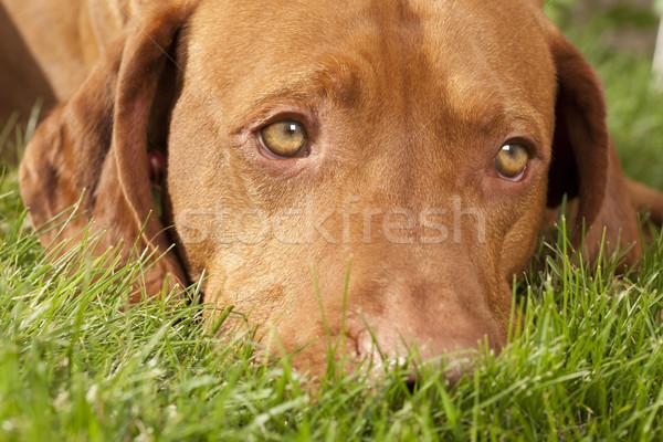 夢のような 犬 草 眼 アップ ストックフォト © Quasarphoto
