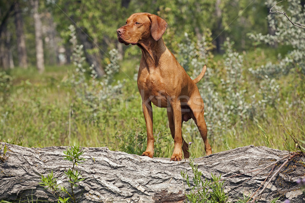 Hunting dog posing outddors Stock photo © Quasarphoto