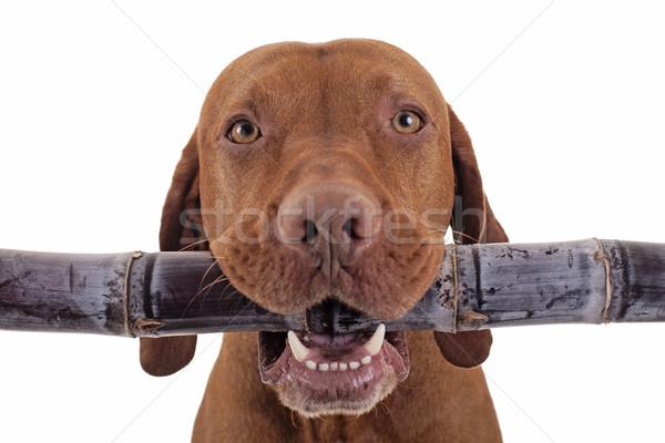 Słodkie surowy diety psa cukier trzcinowy Zdjęcia stock © Quasarphoto