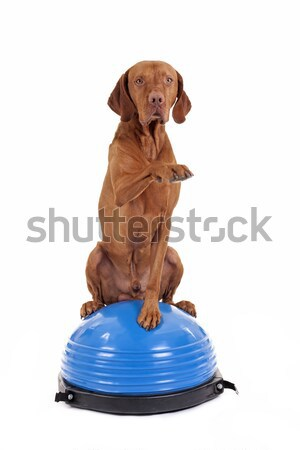dog sitting on top of exercise ball Stock photo © Quasarphoto
