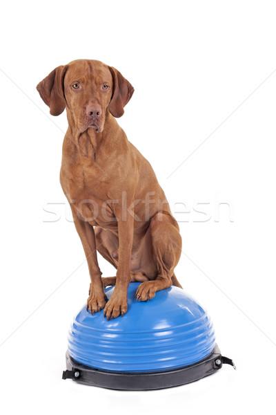 Kiegyensúlyozott merő fajta vadászkutya ül felső Stock fotó © Quasarphoto