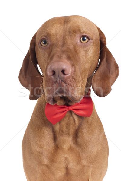 белый собака галстук Сток-фото © Quasarphoto