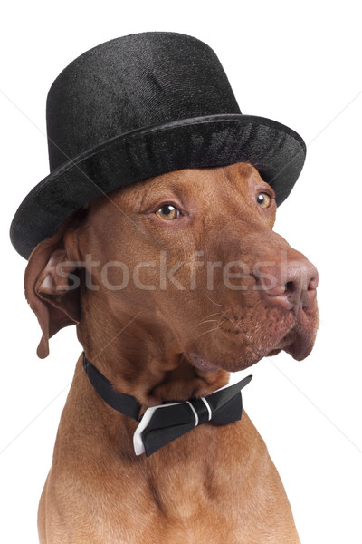 dog with hat and bowtie Stock photo © Quasarphoto