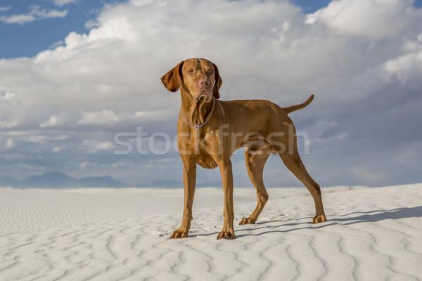 male vizsla dog outdoors Stock photo © Quasarphoto