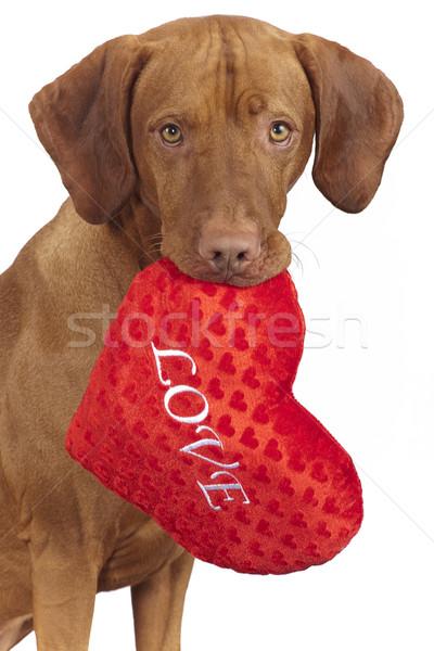 Köpek kalp yastık kırmızı Stok fotoğraf © Quasarphoto