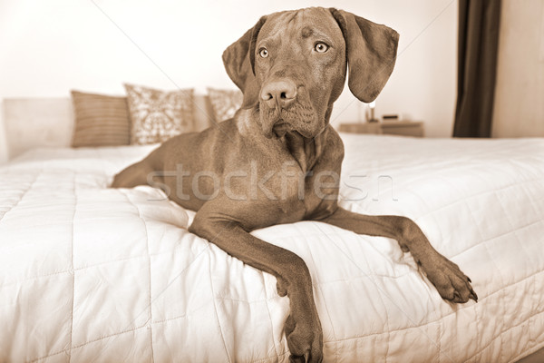 Stock photo: dog resting on bed