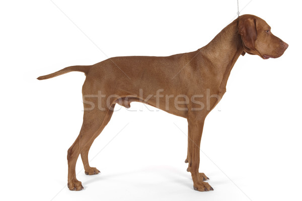 sow dog stacked Stock photo © Quasarphoto