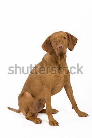 Psa posiedzenia komenda studio Zdjęcia stock © Quasarphoto