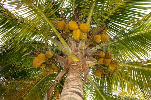 ココナッツ ヤシの木 ツリー 熱帯 ストックフォト © Quasarphoto