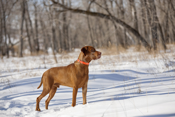 Köpek orman ayakta kar kış Stok fotoğraf © Quasarphoto