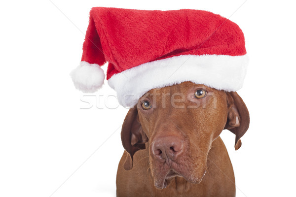 ностальгический собака Hat изолированный Сток-фото © Quasarphoto
