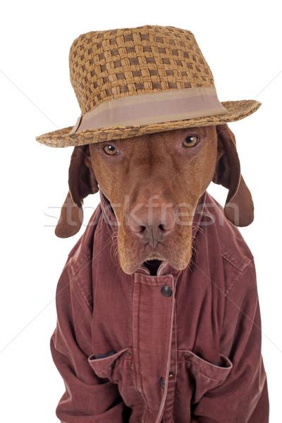 собака куртка Hat белый одежды Сток-фото © Quasarphoto