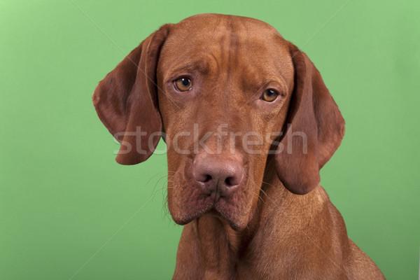 собака портрет позируют Сток-фото © Quasarphoto