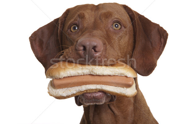 alert dog holding hod dog Stock photo © Quasarphoto