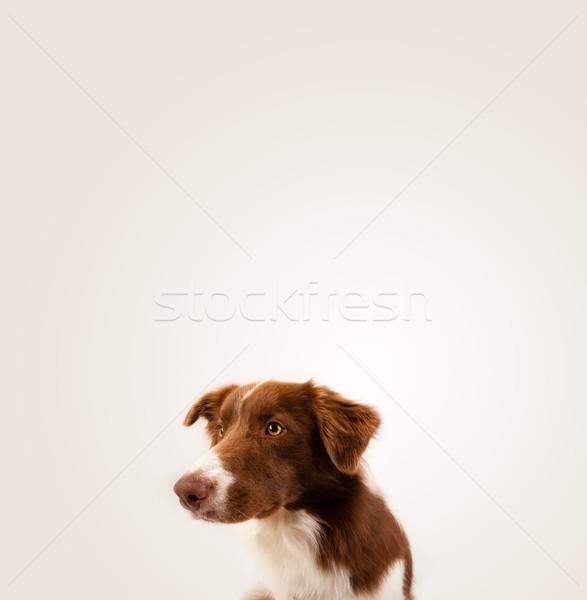 Aranyos juhászkutya copy space barna fehér üres hely Stock fotó © ra2studio