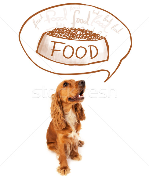 Cute cocker spaniel dreaming about food Stock photo © ra2studio