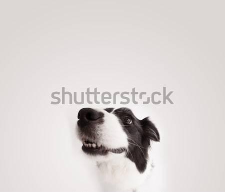 Cute border collie exemplaar ruimte zwart wit ruimte Stockfoto © ra2studio