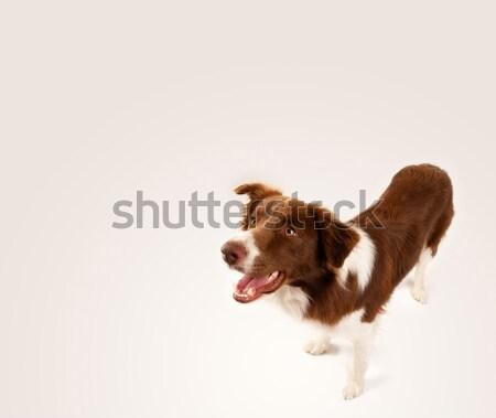 かわいい ボーダーコリー コピースペース ブラウン 白 ストックフォト © ra2studio