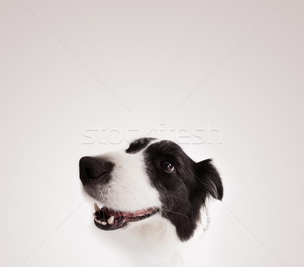 Aranyos juhászkutya copy space feketefehér üres hely űr Stock fotó © ra2studio