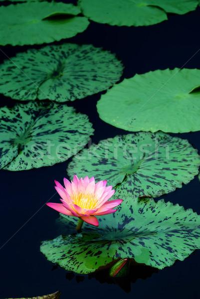 воды Лилия пруд розовый цвета листьев Сток-фото © rabbit75_sto