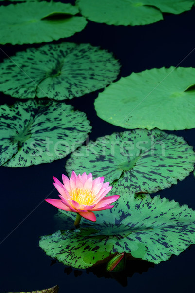 água lírio lagoa rosa cor folhas Foto stock © rabbit75_sto