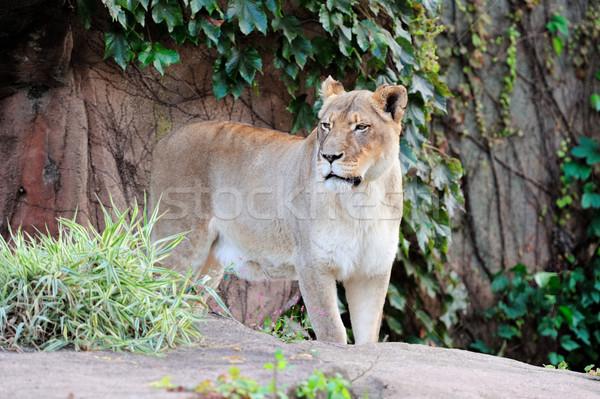 Chicago hayvanat bahçesi kadın aslan Stok fotoğraf © rabbit75_sto