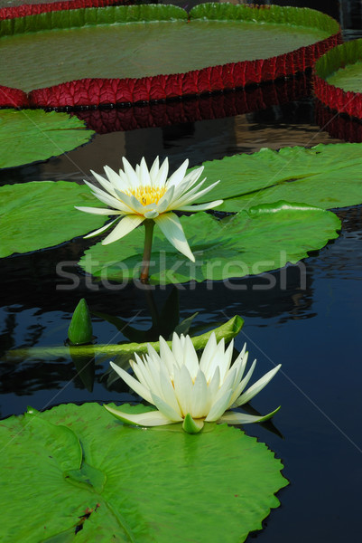 água lírio cor folhas verdes flores Foto stock © rabbit75_sto